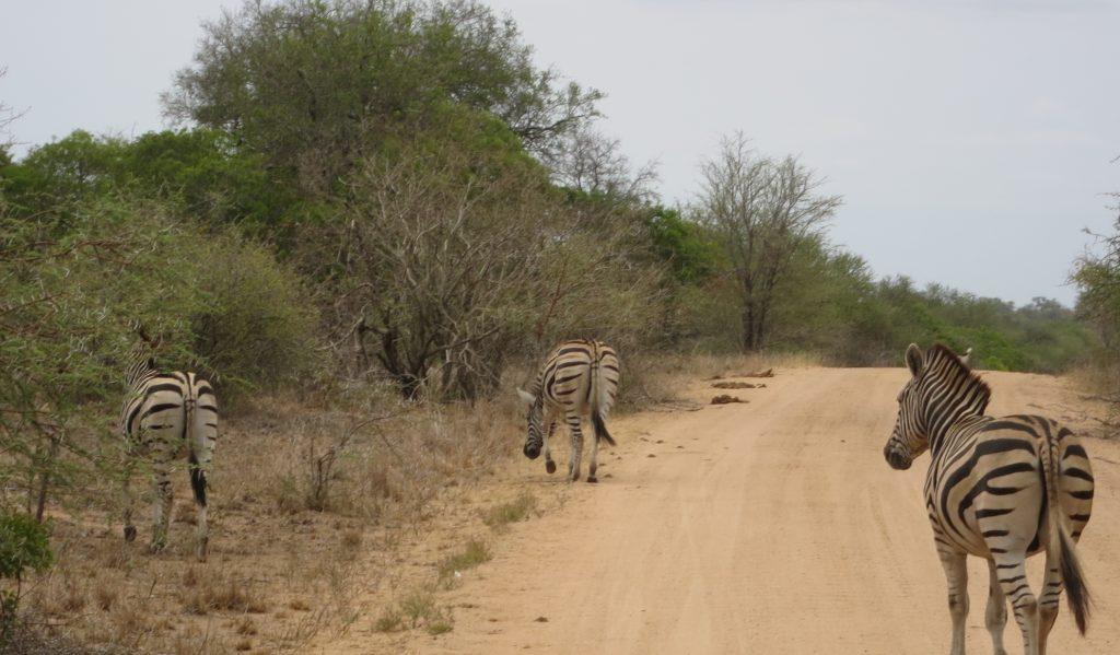 Sebraene gikk fritt på veiene.