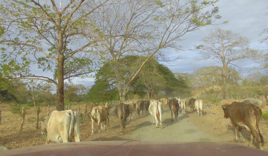 Særdeles stor kufare på vei innover mot Lago de Nicaragua.